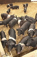 Weaner pigs reared in straw yards.