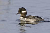Female Bufflehead swimming on a lake