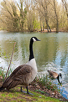 Canada Goose geese birds animal on water lake pond