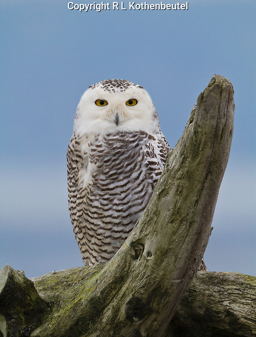 Snowy owl perched on a driftwood stump.<br />