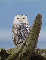 Snowy owl perched on a driftwood stump.<br /> Boundary Bay, Ladner, British Columbia, Canada<br /> 12/3/2011