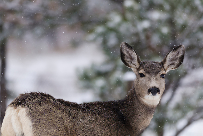 mule deer, odocoileus hemionus, on a snowy day in the Rocky Mountains, Estes Park, Colorado, USA