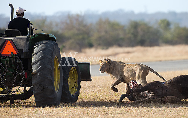 On our final day at MalaMala, our flight out was nearly delayed because lions had killed a buffalo near the runway.  Here, the tractor has come to tow the carcass away.