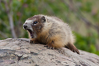 Hoary Marmot yawning while lying on a rock