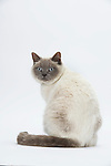 British Shorthair Cat - Lilac Colourpoint
