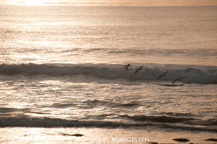 Brown pelicans flying over the surf in La Jolla, California.