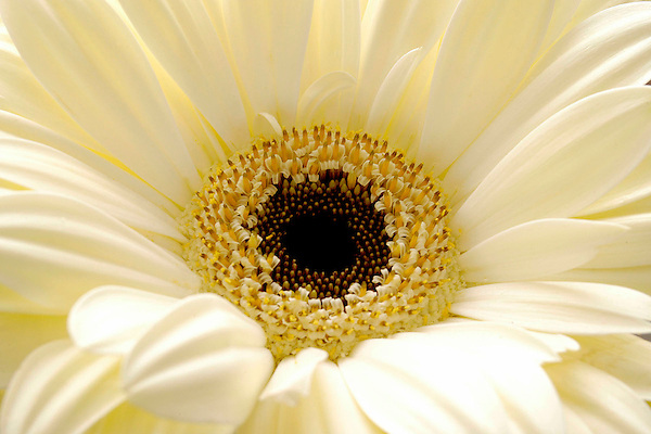 moonglow daisy photo  marc caryl photography, Beautiful flower