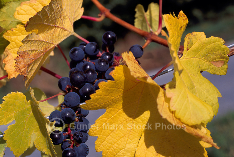Ripe Red Grapes hanging on Vine, South Okanagan Valley, BC, British Columbia, Canada