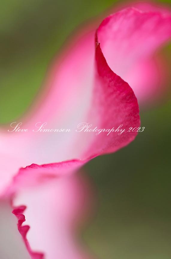 Desert Rose Flowers<br /> Virgin Islands
