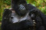 Rwanda, Volcanoes National Park, female mountain gorilla holding 2 week old baby (Gorilla beringei beringei)