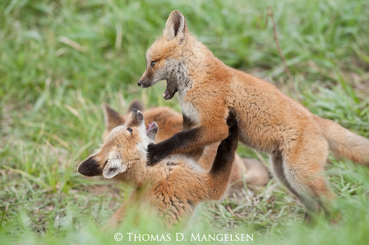 Red fox kits playing and wrestling in the grass in Wyoming.
