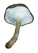 winter polypore<br /> Polyporus brumalis