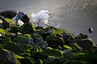 A Snowy egret searches for food in the San Leandro Marina next to the shore of moss covered rocks.
