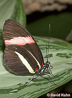0401-08vv  Postman Butterfly, Heliconius melpomene, South and Central America © David Kuhn/Dwight Kuhn Photography