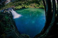 Banyan (Ficus benghalensis) Tree and Rope Swing at Kipu Falls, Kauai, Hawaii, US