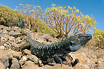 A huge male Tenerife Lizard (Gallotia galloti), Tenerife, Canary Islands