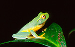 Dainty Green Tree Frog-Litoria gracilenta, Australia