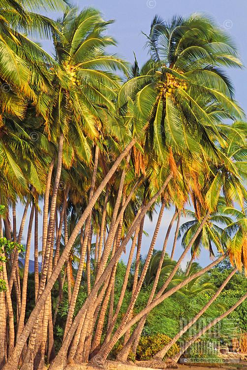 Kapuaiwa Palm Grove, Molokai. Historic 10 acre coconut grove and beach park, 2 miles west of Kaunakakai