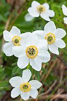 Mountain aven wildflower blossoms, Denali National Park, Alaska.