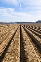 Potato ridges - Suffolk, March
