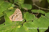 03481-00104 Southern Pearly-Eye (Enodia portlandia) Big Oak Tree State Park Mississippi County, MO