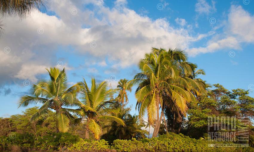 Coconut palm trees on a sunny day, south shore, Kauai.