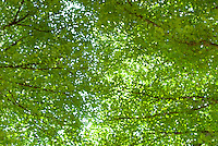 AVAILABLE FROM JEFF AS A FINE ART PRINT<br /> <br /> AVAILABLE FROM PLAINPICTURE FOR COMMERCIAL AND EDITORIAL LICENSING.  Please go to www.plainpicture.com and search for image # p5690036.<br /> <br /> Soft focus view of tree branches and green leaves in Central Park during the summer, New York City, New York State, USA