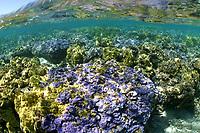 coral complex: Montipora flabellata, Porites lobata, Pocillopora species, Midway atoll, Papahanaumokuakea Marine National Monument, Northwestern Hawaiian Islands, Hawaii, USA, Pacific Ocean