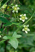 WHITE BRYONY Bryonia dioica (Cucurbitaceae) Height to 4m<br /> Climbing perennial whose progress is aided by long, unbranched tendrils. Found in hedges and woodland margins. FLOWERS are greenish, 5-parted and borne on separate-sex plants; arise from leaf axils (May-Aug). FRUITS are red, shiny berries. LEAVES are 4-7cm across and divided into 5 lobes. STATUS-Common in England; scarce elsewhere.