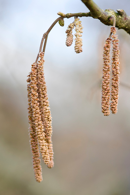 Male flowers or catkins, 'Cosford Cob' cobnut or hazel, (Corylus avellana 'Cosford Cob'), early March.