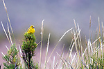 Puna Yellow-Finch (Sicalis lutea), Ciudad de Piedra, Andes, western Bolivia