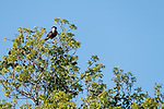 Brazoria County, Damon, Texas; a Crested Caracara perched in the toop branches of an oak tree in the pasture in late afternoon sunlight