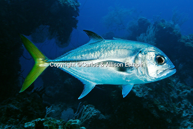Caranx latus, Horse-eye jack, Exuma, Bahamas