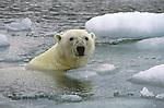 Polar bear takes a swim in Wager Bay in Nunavut, Canada.