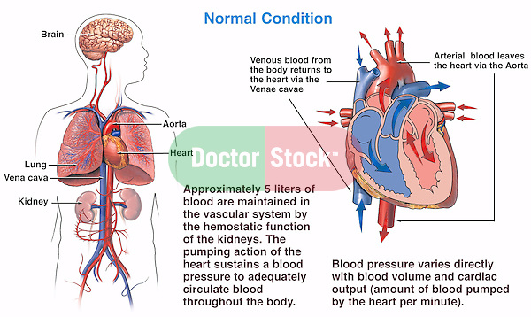 Blood Pressure Homeostasis Prior To Hypovolemic Shock Doctor Stock