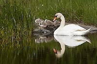 Mute swan (Cygnus olor).<br /> L&aring;ngvikssk&auml;r, Stockholm Archipelago, Sweden