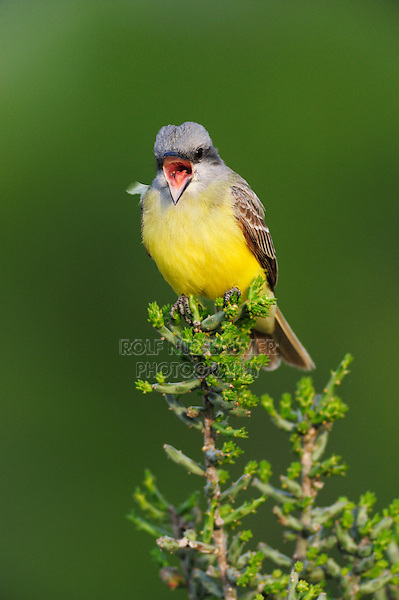 Couch's Kingbird (Tyrannus couchii), adult singing on Christmas Cholla (Opuntia leptocaulis),  Laredo, Webb County, South Texas, USA