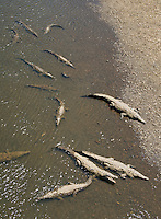 American crocodiles, Crocodylus acutus, basking at the shore of the Tarcoles River, Costa Rica
