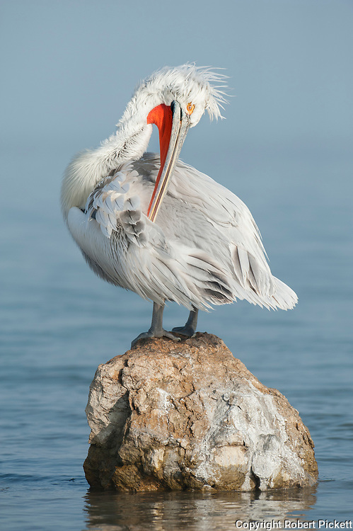 Dalmatian Pelican, Pelecanus crispus, in Breeding Plumage, Kerkini Lake, Greece, Vulnerable IUCN Red List 2007 and on Appendix I of CITES, perched on rock, preening, cleaning feathers
