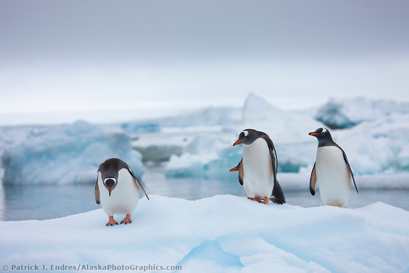 Gentoo penguins on icebergs near Brown Bluff, Northern tip of the Antarctic Peninsula.