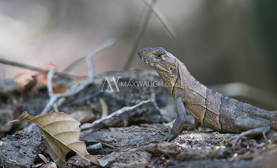 A young black iguana found in Carara National Park.
