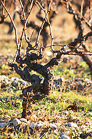 Chateau Villerambert-Julien near Caunes-Minervois. Minervois. Languedoc. Vines trained in Gobelet pruning. Old, gnarled and twisting vine. France. Europe. Vineyard.