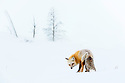 Adult red fox (Vulpes vulpes) foraging in snow covered valley. Hayden Valley, Yellowstone, USA. February