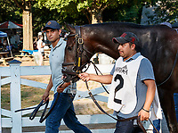 Joyful Heart enters the paddock as Opry (no. 8) wins the With Anticipation  Stakes (Grade 3), Aug. 29, 2018 at the Saratoga Race Course, Saratoga Springs, NY.  Ridden by  Javier Castellano, and trained by Todd Pletcher, Opry finished 1 1/2 lengths in front of Somelikeithotbrown (No. 7).  (Bruce Dudek/Eclipse Sportswire)
