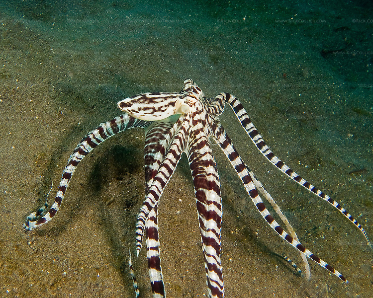 A mimic octopus moves as quickly as it can, &quot;walking&quot; on &quot;tip-toe&quot; to get away.<br /> <br /> The mimic octopus was not discovered officially until 1998, off the coast of Sulawesi, Indonesia. This is the only octopus known to mimic the appearance and mannerisms other species.  Mimic octopus have been known to imitate more than fifteen different species, including sea snakes, lionfish, flatfish, brittle stars, giant crabs, sea shells, stingrays, flounders, jellyfish, sea anemones, and mantis shrimp.