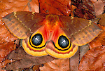 Bull s eye moth - Automeris io io, female, showing eye spots, on forest floor USA.insect  .USA....