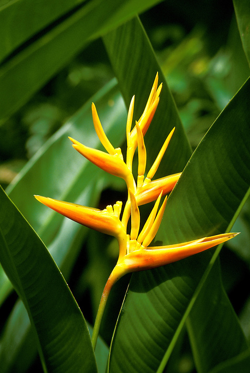 Barbados: Flora, flowers, Caribbean, Bird of Paradise.   Photo barbad105.Photo copyright Lee Foster, 510/549-2202, lee@fostertravel.com, www.fostertravel.com