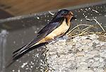 Barn Swallow (Hirundo rustica) Patagonia, Santa Cruz County, Arizona, USA