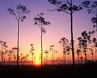 Foggy sunrise light on pine trees; Everglades National Park, FL