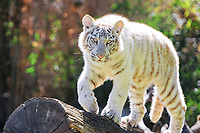 white tiger, a pigmentation variant of the Bengal tiger, Indian tiger, Panthera tigris tigris, cub, endangered species, Buenos Aires zoo, Argentina (c)